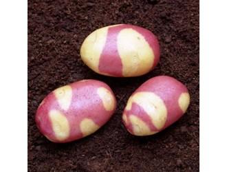 Фіолетова картопля – екзотична реальність на городі