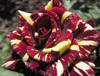 Патіо-троянди – мініатюрна та вишукана краса вашого саду