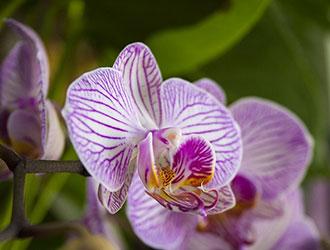 Вишукана і стильна орхідея Phalaenopsis