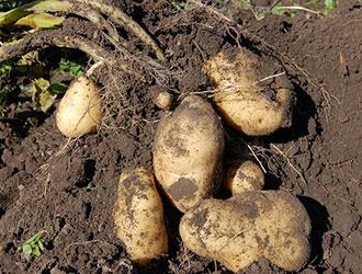 Картопляні рекорди і не тільки