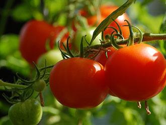 Сіємо томати, щоб родили багато
